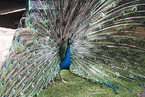 开屏的蓝色孔雀