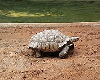 水边爬行的巨型乌龟
