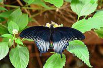 降落在树叶上的黑蝴蝶