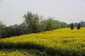 金黄菜花田