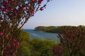 南湾湖茶岛樱花