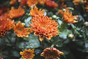 橙色雏菊花丛