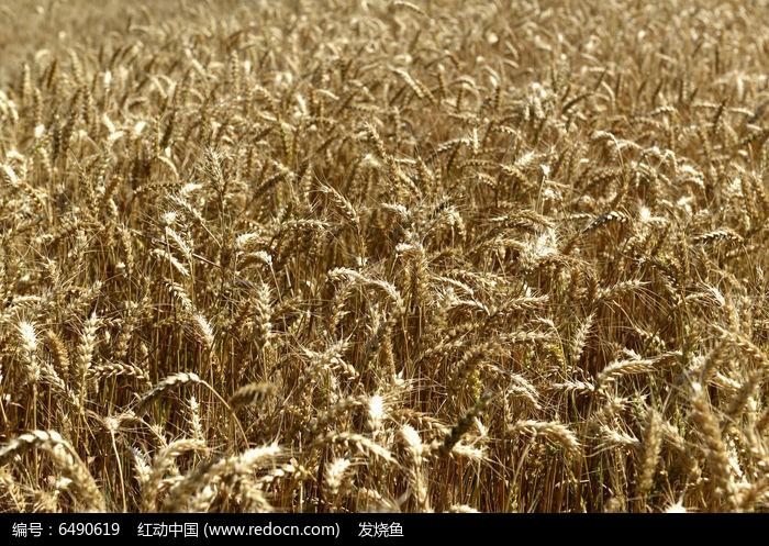 成熟季节金色的小麦图片
