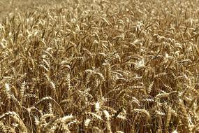 成熟季节金色的小麦