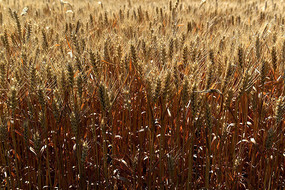 成熟季节金色的小麦麦穗