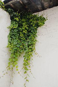 老屋房檐绿色梦