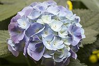 紫色的绣球花朵