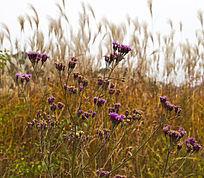 太行山的野菊