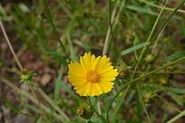 一朵金黄的野菊花