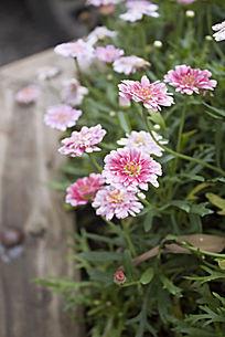 花坛里的粉色小雏菊