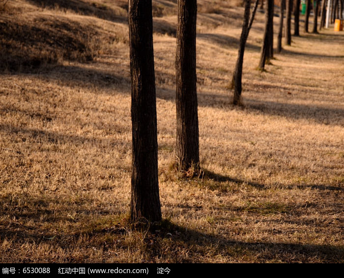 冬日阳光照耀下的草地和一排小树树干图片
