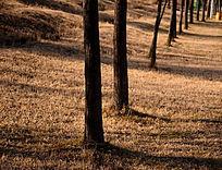 冬日阳光照耀下的草地和一排小树树干