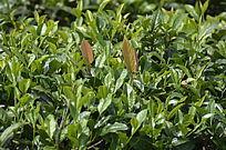 海南特产白沙绿茶