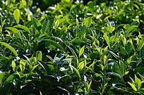 海南特产白沙绿茶特写图