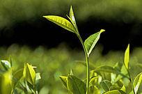 海南特产白沙绿茶图片