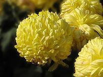 黄色的菊花