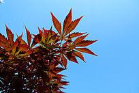 美丽的红枫叶