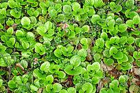 野生植物鹿蹄草