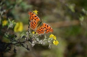 田野中的黄钩蛱蝶