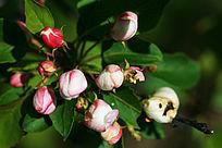 野生植物山荆子花蕾