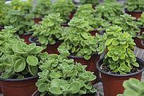 多肉盆栽香料植物