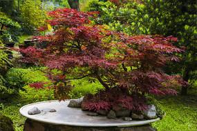 盆景 红枫树