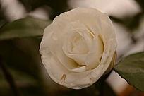 盛开的白色茶花