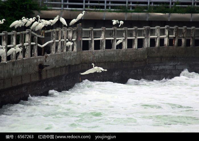 白鹭鸟飞回鸟群图片