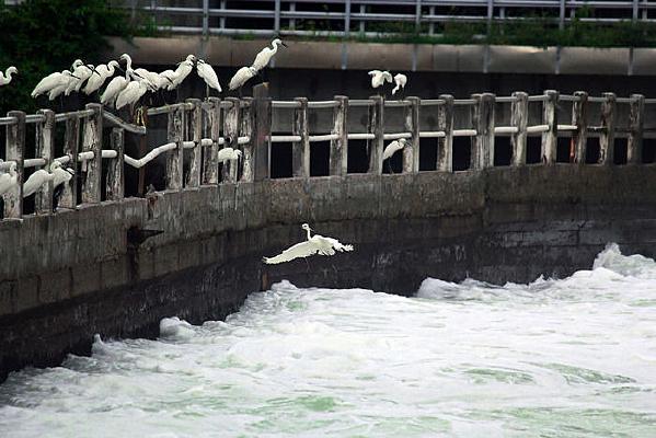 白鹭鸟飞回鸟群