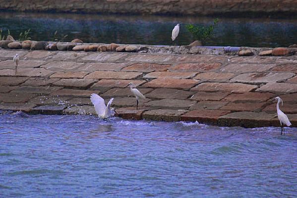 几只休息的白鹭