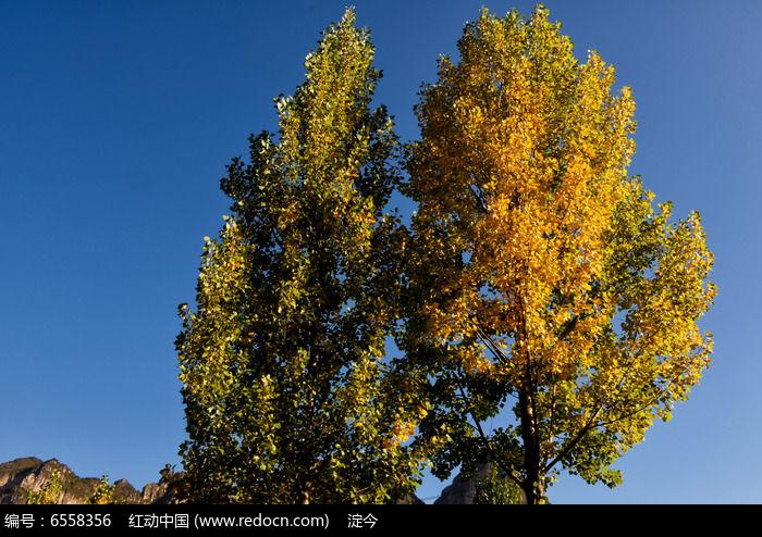 蓝天大山背景中的两棵杨树