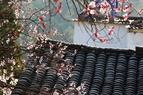 老屋后的樱花