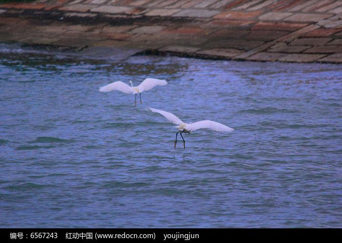 两只白鹭鸟图片