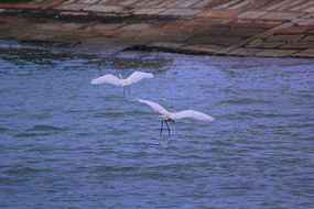两只白鹭鸟