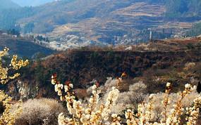 满山遍野的樱花