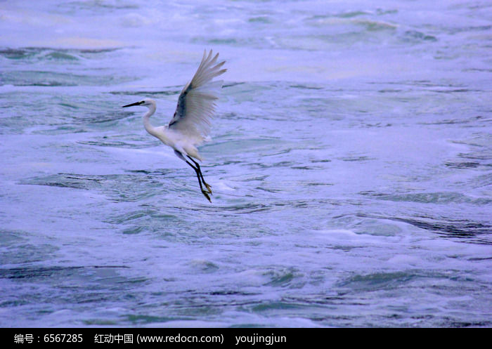 起飞白鹭图片
