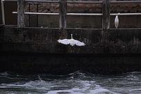 起飞的白鹭鸟