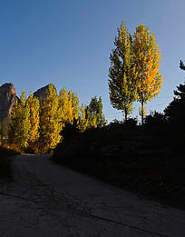 秋天的蓝天下杨树林树叶黄了