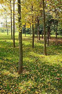 秋天银杏树林的草地上落满了银杏树叶