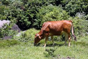 山中吃草的小黄牛