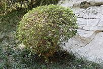石崖边上的围树