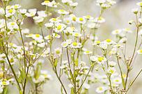 小菊花背景图