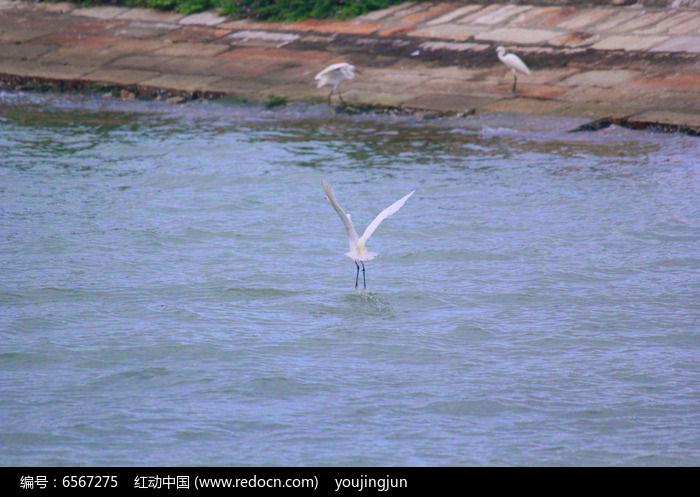 戏水的白鹭图片
