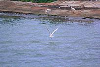 戏水的白鹭