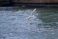 一只飞翔的白鹭