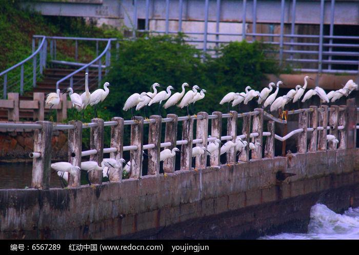 白鹭鸟 厦门市鸟图片
