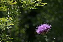 大山里的野花刺儿菜