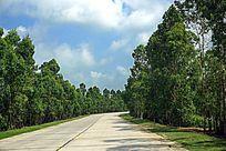 公路绿化树林