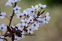 花开灿烂紫叶李