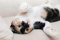 沙发上的小花猫